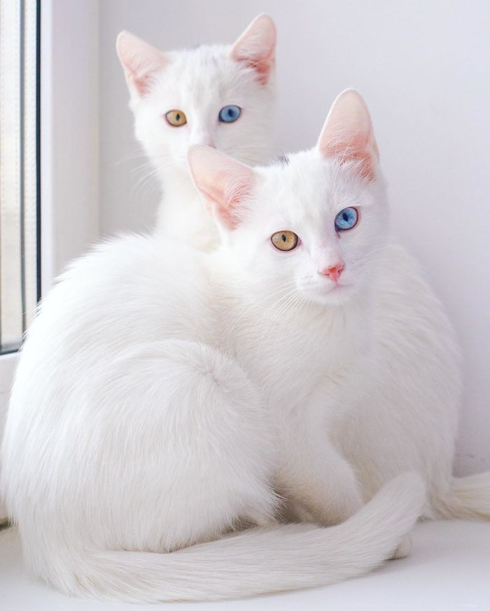 Meet Iriss and Abyss, the twin feline phenoms taking the Internet by storm. Not only are their pristine white coats adorably fuzzy, they both have spectacularly gem-like eye colors. The twins have a condition called heterochromia iridum, meaning that each eye is a different color—in the case of Iriss and Abyss, one eye is blue while the other is somewhere between gold and brown. This can occur in humans and animals, and has no medical disadvantages, which means that Iriss and Abyss can…