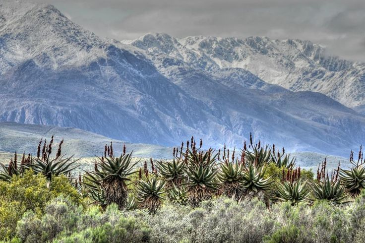 Snow on the aloes of the Swartberg yesterday. South Africa, Etienne van Zyl
