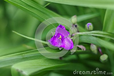 Close up of violet Tradescantia virginiana flower