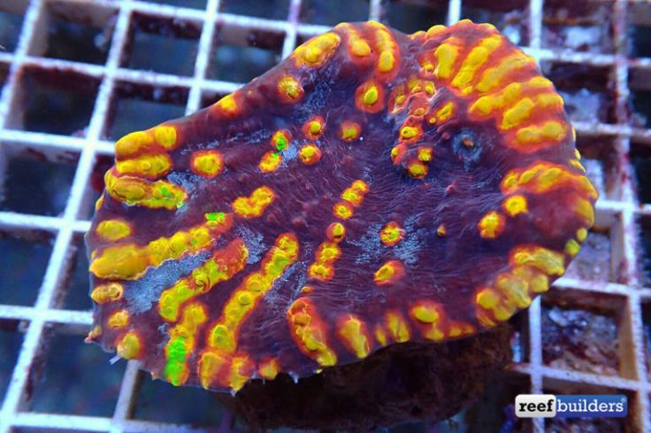Fireball Echinomorpha Just Might Burn Your Retinas Chalice Corals, echinomorpha, Featured Reef Builders | The Reef and Marine Aquarium Blog