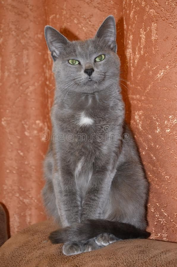 Cat Breed Russian Blue Gray Silver Gray Color With Green Yellow Grey Cat Breeds Cat Breeds Grey Cats