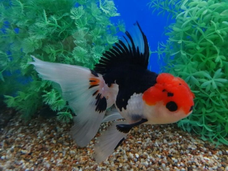 56 best goldfish love images on pinterest fish aquariums for Koi fry pool