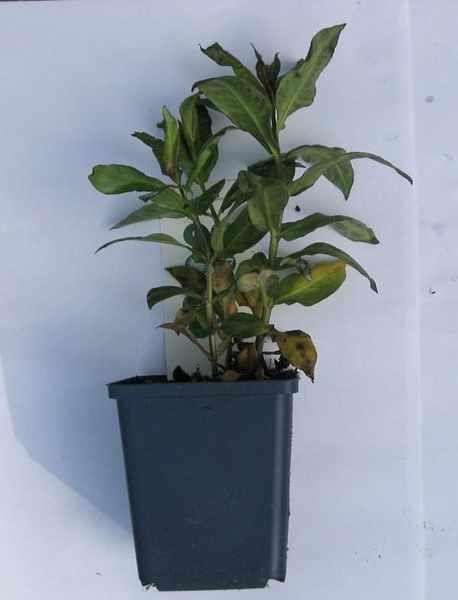 Det er faktisk nesten så enkelt som å kappe av en bit av planten, stappe i jord og vente på at en ny plante skal gro opp