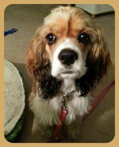 Lily | Cocker Spaniel Rescue of Austin and San Antonio #adoptdontshop