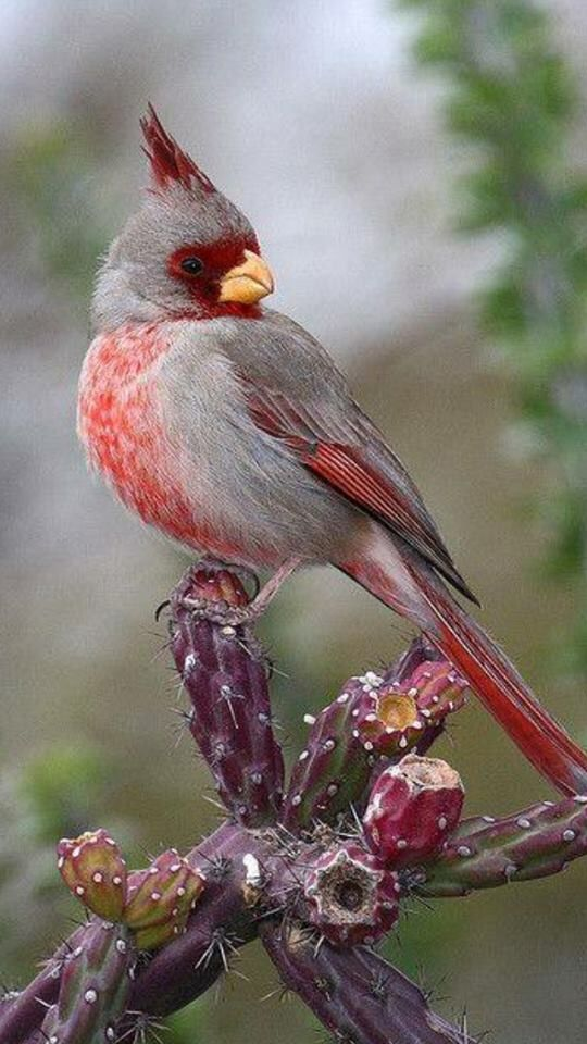 Cardinal bird red & gray sitting on a cactus | Cardinal ...