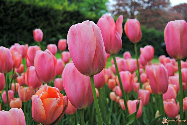 Parco Giardino Sigurtà, #tulipani