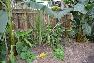 Bananas, Yacons & Sugarcane.