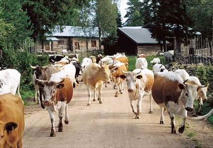 Östra Grunubergs fäbod ligger en bit utanför Orsa. Du sover i stugor som är flera hundra år gamla och vaknar på morgonen till korna som råmar och väntar på att få bli mjölkade.