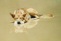 Dingo, Fraser Island, Australia (RandolphScott) Tags: beach island australia great6 fraser great5 great1 great4 great2 great3 dingo great7 canislupusdingo scoreme46 platinumphoto pet100 bestofaustralia
