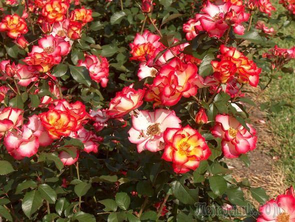 Роза Флорибунда – обильноцветущая королева сада: посадка и уход
