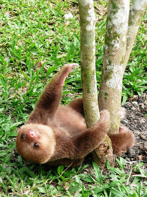 Endangered Cuteness - This Baby Sloth Is Just Hanging Out #cute #animals