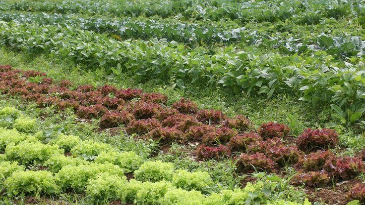 As máquinas irão operar no cultivo de hortaliças no Japão a partir de 2017; produção diária deve ser de 30 mil cabeças de alfaces e escarola