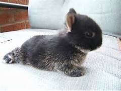 Netherland Dwarf Bunny..that's what kind my 11 yr old Yukie is!