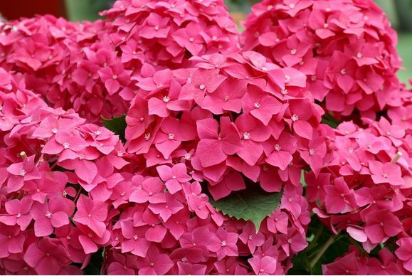 Pink Hydrangeas are lovely too!