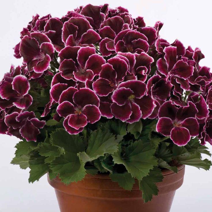 Geranium Aristo Black Beauty Regal Pelargoniums The Vernon Geranium Nursery Perfect For