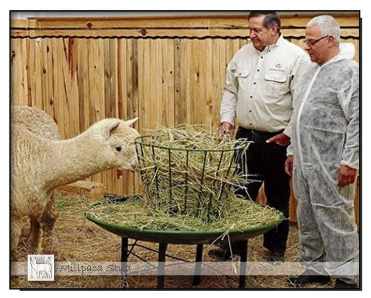 The Land April 25th, 2014  Our alpacas will be an integral part of Turkey's large textile industry.