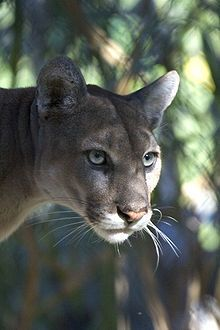 Florida panther - Wikipedia, the free encyclopedia - The Florida panther (P. c. coryi) is an endangered subspecies of cougar (Puma concolor) that lives in forests and swamps of southern Florida in the United States. (cat species series #11B)