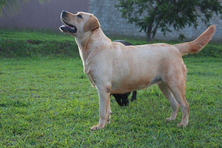 Cléo Labradors