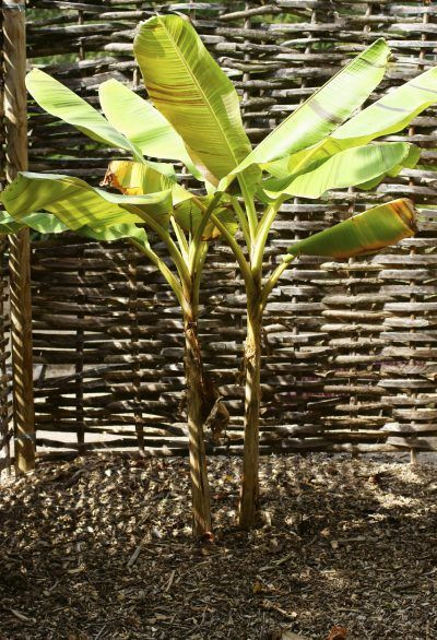 How To Divide A Banana Tree: Information On Banana Plant Splitting - Like most fruit trees, a banana plant sends out suckers. With grafted fruit trees, it is recommended that you prune and discard suckers, but banana plant suckers can be split from the parent plant and grown as new plants. Learn more here.