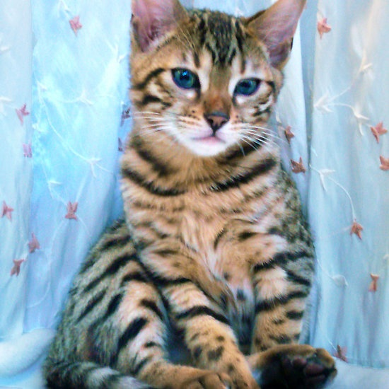 Bengal Kitten, Caitie found out they are hypoallergenic