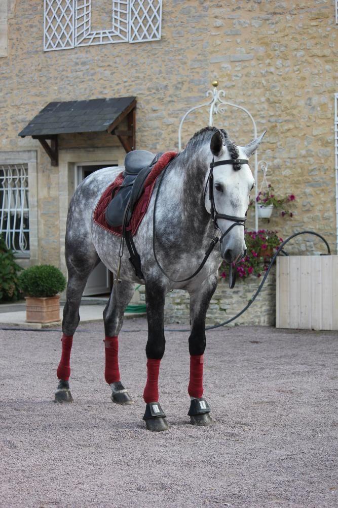 TERRIVEL D'ESCOLINA - Lusitanien - Les lusitaniens de St Eloy - Elevage de chevaux Lusitaniens