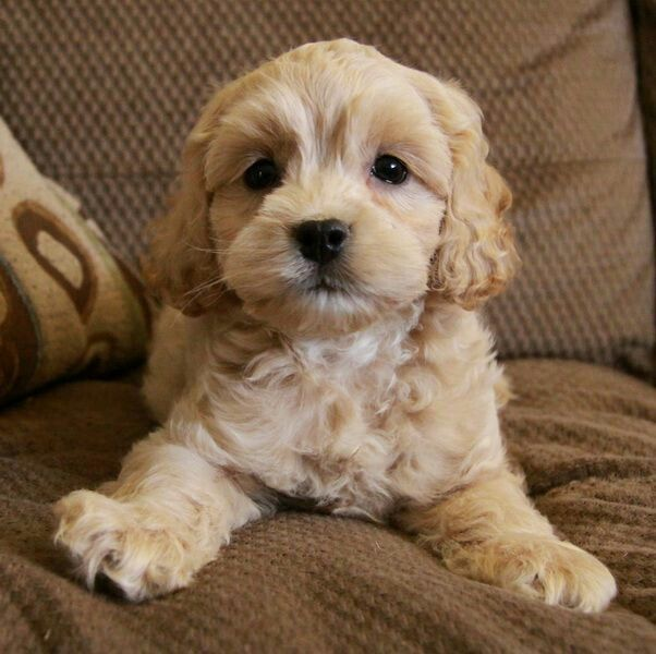 Pin By Red Moon On Dogs Cockapoo Puppies Puppies Family Dogs