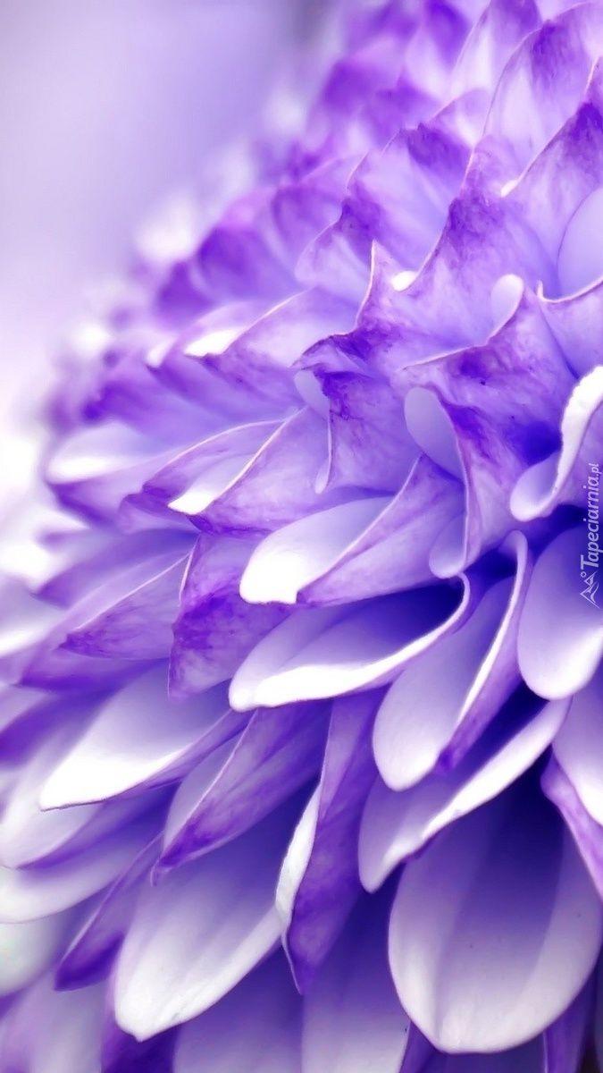 Fioletowa Chryzantema Tapeta Na Telefon Purple Garden Stranger Things Plants