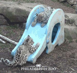 Big Cat Spotlight: The Snow Leopard - Imgur