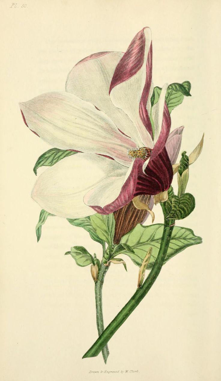 90 best magnolia images on pinterest botanical prints for Botanical tattoo london