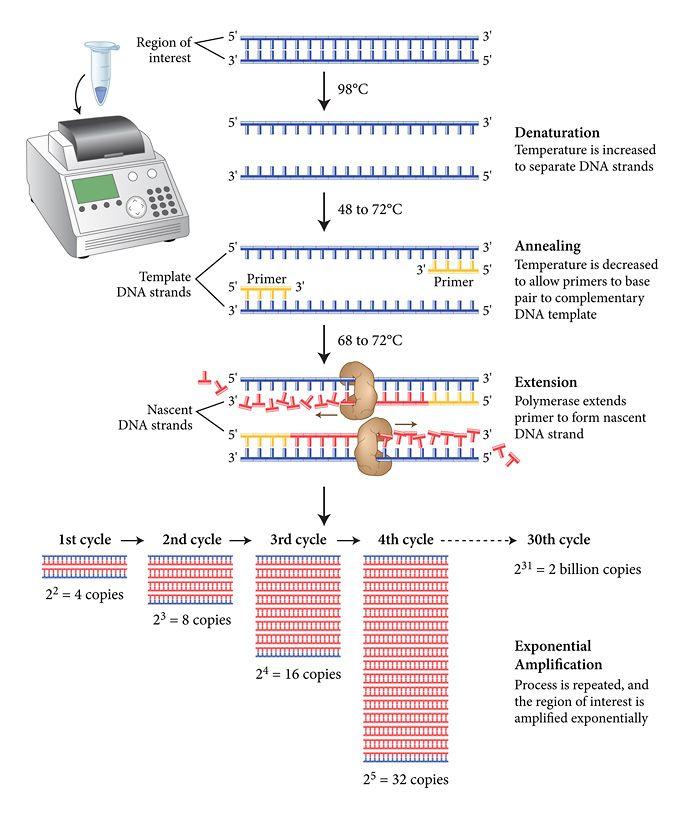 Como ocurre el PCR