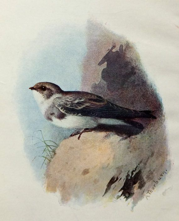 Sand Martin - Vintage Bird Illustration - Bird Print from Familiar Wild Birds - by A. Thorburn on Etsy, £8.00