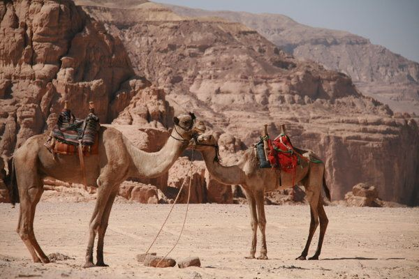 Camels near the white canyon
