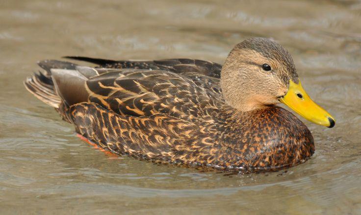 Mexican Duck In Utah Birds Duck Wildfowling