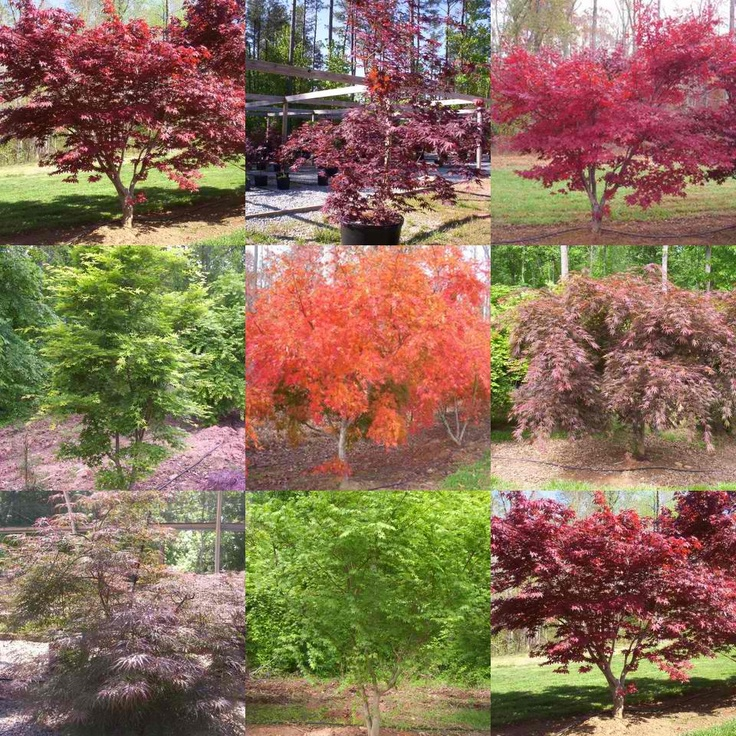 Japanese maple tree colors inspiration pinterest for Maple trees for small gardens