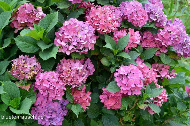 die besten 25 rosa hortensien ideen auf pinterest blumenarrangements rosa hortensie bouquet. Black Bedroom Furniture Sets. Home Design Ideas