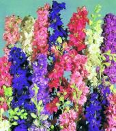 Larkspur Summer Sun Mix - Sow Late Spring & Early Summer - Annual 90cm