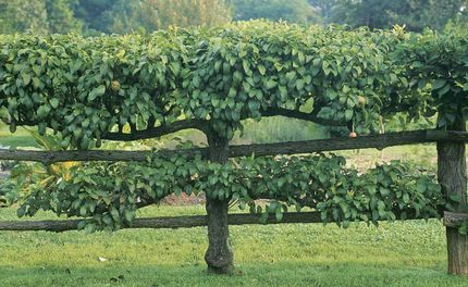 How to espalier a fruit tree. His explanations and pictures are enough to make me think that I can actually do this.