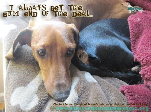 Check out more of our funny captions on our facebook page. http://www.facebook.com/pages/Furever-Dachshund-Rescue/144922675566850