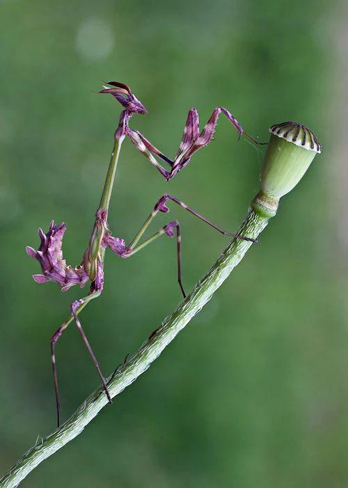 Photo: Praying mantis - Mante religieuse  Aline Dufault Google+