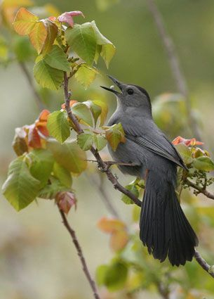 saw in front yard, not at feeder   Gray Catbird  Adult        Often frugivorous      Long dark tail      Dark cap      Gray body, wings, and tail      Dark eye and bill