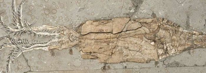 """A recent science news article sheds light on the amazing squid, but definitely not on its supposed evolution or origin. Creation scientists maintain squid have always been squid, and science bears this out with a new and highly detailed squid fossil. The article states the fossil is """"exceptionally preserved."""" Clearly the reason for the exceptional formation and preservation of the squid's fragile body in this fossil is due to an obvious rapid and catastrophic burial. A flood of biblical…"""