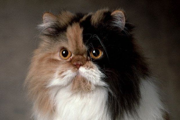 İran Kedisi (Persian)Karakteri: En çok tercih edilen ev kedilerinden, zeki, dost, sadık Bakım: Oldukça bakım gerektirir; her gün düzenli olarak taranmalı/fırçalanmalı. Rengi: Beyaz; gümüş rengi; altın sarısı; siyah; duman rengi; mavi; kızıl; krem; mavi-krem; vizon deseni Tüy Şekli: Uzun Çıkış Yeri: İran Vücut Yapısı: Orta