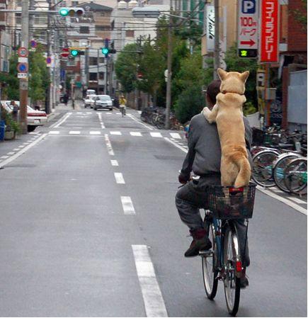 Shiba Inu dog riding a bike in Japan