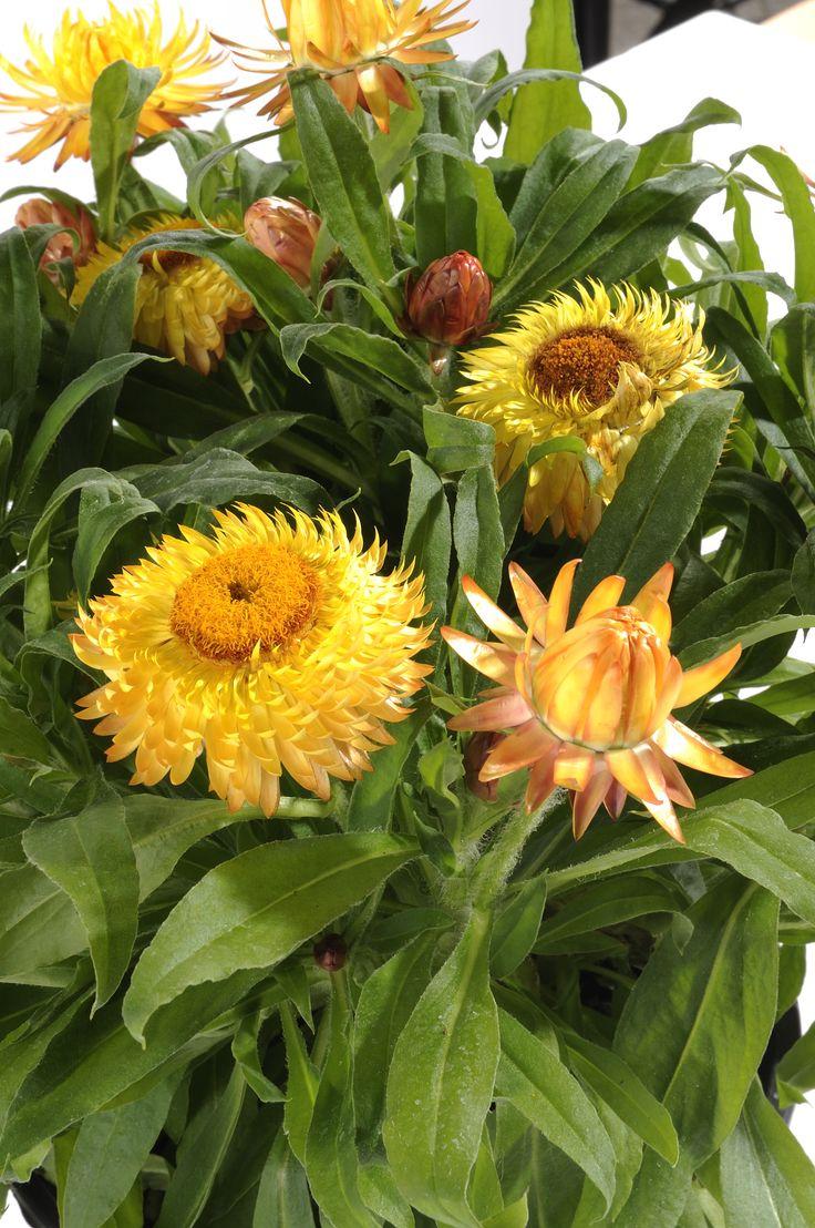 Elicriso, conosciuto anche come Fiore di carta #helicrysum #yellow #flower #plant  Per scoprirne di più http://viridea.it/consigli/annuali/elicriso-fiore-carta/