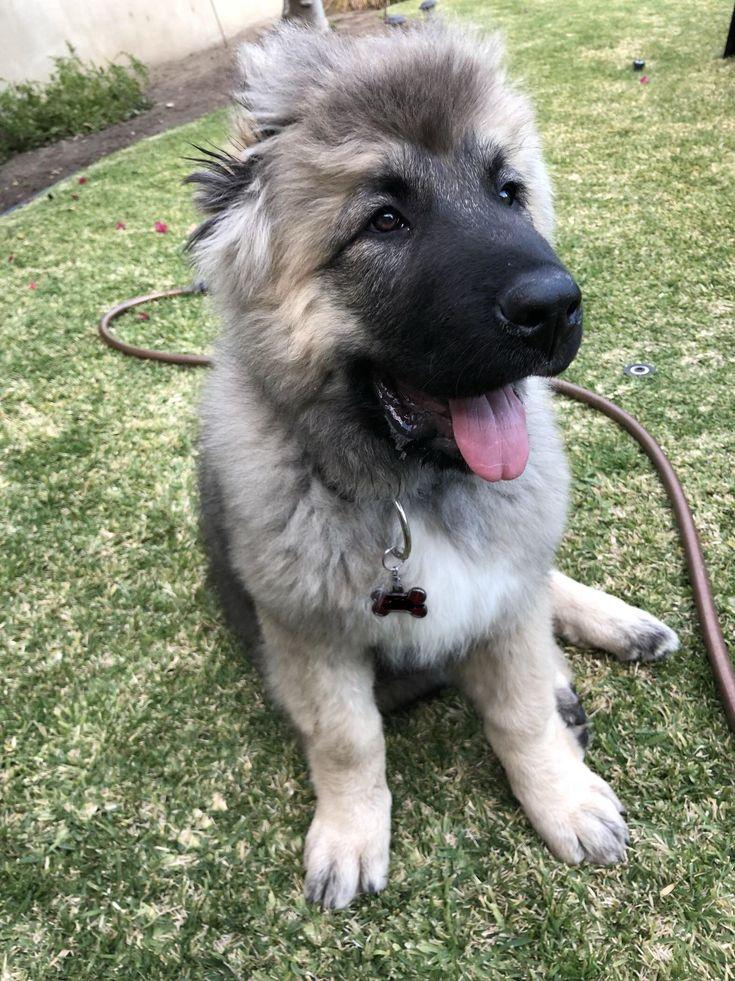 Meet Moose my Caucasian mountain dog https://i.redd.it/uqv312lvtoj01.jpg