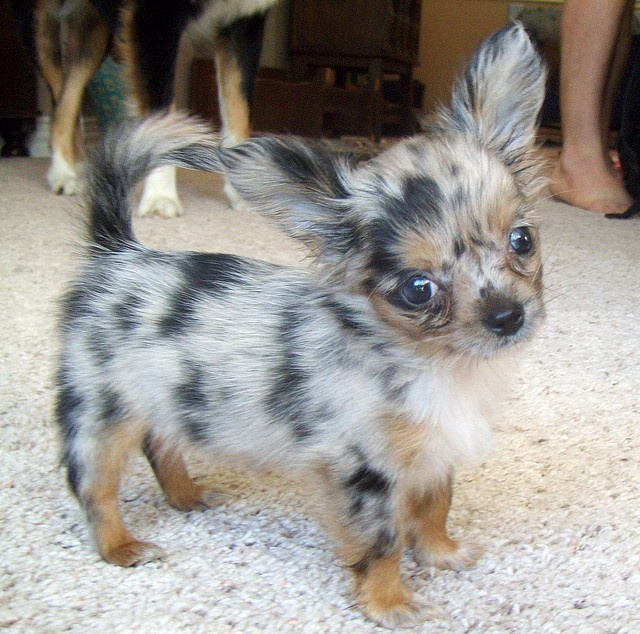 Blue Merle Long Haired Chihuahua soooooo cute