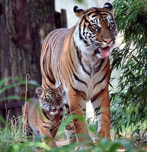 Tiger - My little shadow | somesai | Flickr