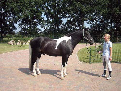 Lewitzer Pony - stallion Munser I