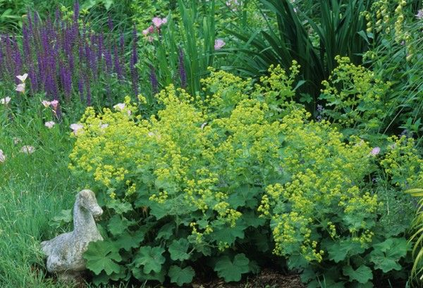 Lady 39 S Mantle Beautiful Deer Resistant Plants The