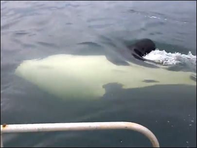 Man has very close encounter with orcas off Anderson Island. Pretty funny how his tone changes when they go from far away to right under his boat.